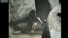 Amazing video: Mother gorilla cradles 3-year-old boy who fell into ape pit in 1996
