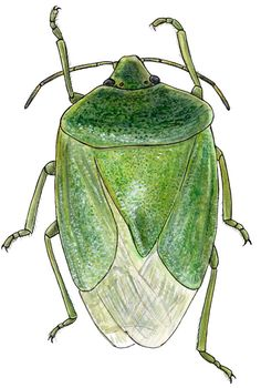 Joe MacGown's Insect Drawings and Paintings Gallery 2 Stink Bugs, Watercolor Ideas, Watercolor And Ink, Bug Art, Painting Gallery, Watercolours, Natural History, Adele