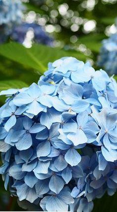 Comment avoir des hortensias bleus ? #hortensias #hydrangea #hortensia #fleurs #bleues #violettes