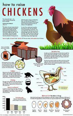 How to Raise Chickens graphic | Flickr - Photo Sharing! @Michael Dussert Dussert Dussert Rooney  lol