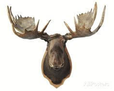 Canadian Taxidermy Moose Head Hunting Trophy, Mounted on an Oak Shield, Vancouver Photographic Print at AllPosters.com