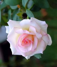 Amazing Rose -- Love the way this transitions from pale pink to white [**. My Flower, Flower Power, Rose Violette, Rosa Rose, Rose Trees, Floral Backdrop, Rose Pictures, Pretty Roses, Most Beautiful Flowers