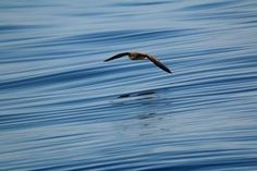 Shearwater or some call them mutton bird. Taken out in Bass Strait on a beautiful calm morning