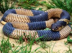 Navy Blue and Brown Colored Snake