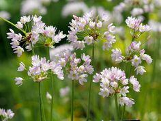 "Pink Ornamental Onion. Allium roseum bulbiferum. 12"" tall. Blooms in June."