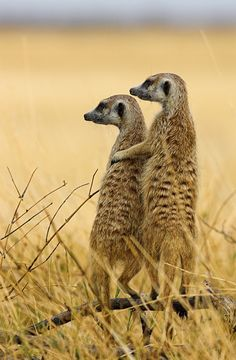 You've Got a Friend - Meerkats on the lookout