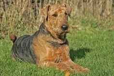 Airdale Terrier im Natur Lexikon