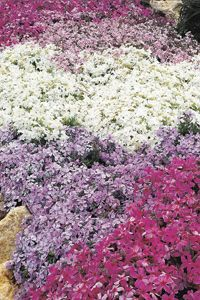 Don't be deceived by the delicate-looking flowers - this creeping phlox is a tough little plant that provides weed control and ground cover in dry rockeries and sunny banks and slopes.