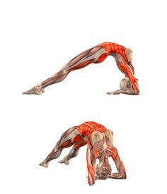#DVAPADA DHANURASANA Bridge pose on elbows |