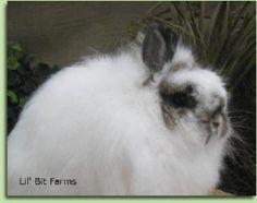JerseyWooly Rabbit