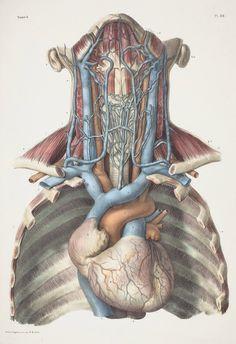 Precioso grabado de anatomía de Jean-Baptiste Bourgery (1797-1849)