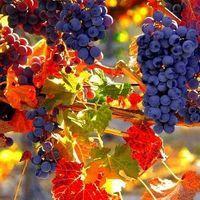 Autumn harvest – beautiful colours and lush-looking grapes Harvest Time, Fall Harvest, Bountiful Harvest, Fall Season, Belle Photo, Fall Halloween, Beautiful World, Autumn Leaves, Autumn Nature