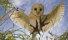 Dramatic snap reveals 'prey's eye view' of barn owl catching dinner