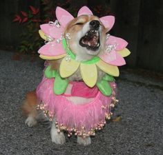 """No More Costumes!"" could be the caption for this cute flower-child Pembroke Welsh Corgi."