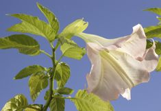 Brugsmania, Angel's Trumpet and Atropine Plant are toxic to both dogs and cats. Pet Poison Helpline discusses Brugmansia poisoning in dogs and cats Pet Dogs, Dog Cat, Pets, Toxic Plants For Cats, Herding Cats, Angel Trumpet, Poisonous Plants, Different Plants, Cat Food