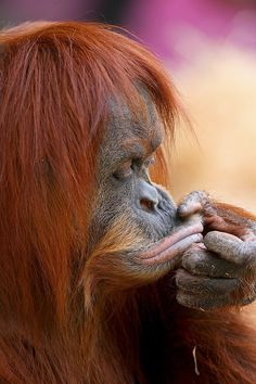 You have to love orangutans ❤️