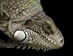#Iguana #lizard #reptile