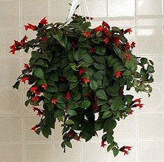 ASPCA site says: Lipstick Plant Additional Common Names: Scientific Name: Aeschynanthus humilis Family: Gesneraceae Toxicity: Non-Toxic to Dogs, Non-Toxic to Cats