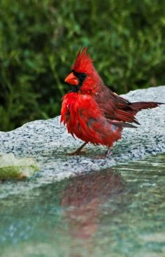 My favorite bird, the cardinal Pretty Birds, Love Birds, Beautiful Birds, Animals Beautiful, Beautiful Pictures, Northern Cardinal, State Birds, Cardinal Birds, Kinds Of Birds