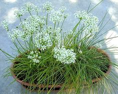 Garlic chives are a similar but larger plant than ordinary chives. The foliage of garlic chives has a stronger, more garlic-y flavor. The leaves are flatter and the large white flowers are pretty enou Garlic Chives, Wild Garlic, Parsley, Chive Flowers Recipe, Herb Garden In Kitchen, Flower Food, Large Plants, Allium, Companion Planting