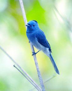 funnywildlife:    #45 黑枕細竹 by John on Flickr.    Black-naped Monarch (Black-naped Blue Flycatcher)
