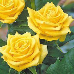 Fragrant Gold - Hybrid Tea Roses - Roses - Heirloom Roses