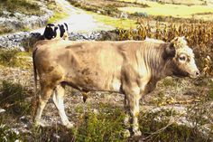 Sus animales: los toros para la arada.