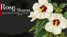 Image result for rose of sharon images