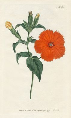 William Curtis Botanical Prints 1787-1826 - Chinese Lychnis