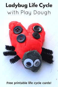 Ladybug Life Cycle with Play Dough This activity is a hands-on way to learn about the different stages of the ladybug life cycle. Ladybug Life Cycle with Play Dough. Hands-on preschool science lesson. Science Activities For Kids, Preschool Science, Preschool Lessons, Spring Activities, Enrichment Activities, Sequencing Activities, Nature Activities, Animal Activities, Preschool Ideas