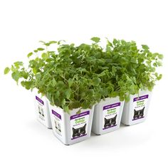 Bell Rock Growers Pet Greens Live Catnip, 15 by 11 by 7-Inch, 6-Pack -- To view further for this item, visit the image link. (This is an Amazon affiliate link)