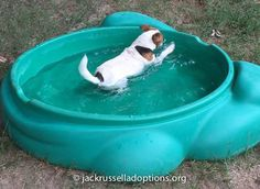 Georgia Jack Russell Rescue, Adoption and Sanctuary | Jackie #funny #adoptable…