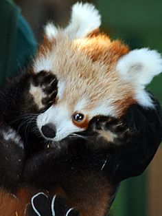 Baby Red Pandas Are The Cutest