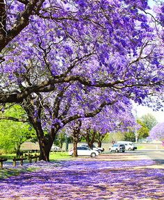 ˚Jacaranda Trees - Australia