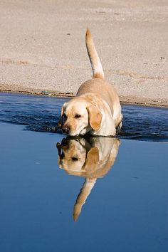 Reflection.   A lab and water; what could be more perfect!