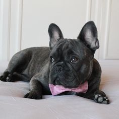French Bulldog in a Bow Tie❤️