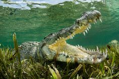 American Crocodile at Banco Chinchorro, Mexico. With bigfishexpeditions.com
