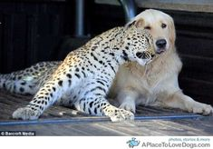 Salati-leopard-Tommy-dog-snuggle-daily-game-chase