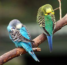 parakeets | parakeets sleeping |