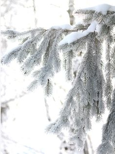 Spruce and winter