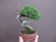 『盆栽:何処かイマイチなシンパク達』