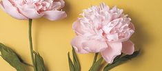How To: Paper Peonies - Party Pieces Blog & Inspiration