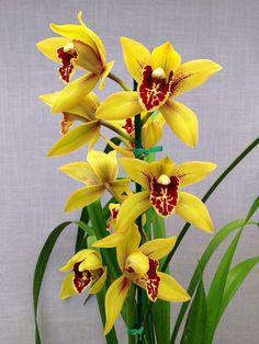 Cymbidium Summer Elf 'Maria' Summer Pearl X Golden Elf By Orchids By Hausermann