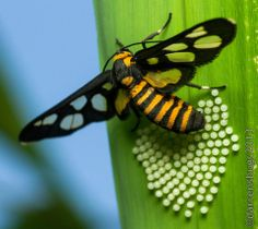 A female wasp-mimicking Tiger Moth (Arctiidae: genus Ceryx) lays her eggs on the underside of a palm tree leaf in Chiang Mai, Thailand