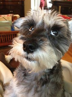 Ranked as one of the most popular dog breeds in the world, the Miniature Schnauzer is a cute little square faced furry coat. Mini Schnauzer Puppies, Miniature Schnauzer Puppies, Schnauzers, Most Popular Dog Breeds, Mundo Animal, Dog Pictures, Small Dogs, Dog Training, Best Dogs
