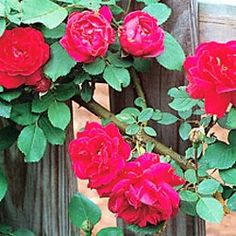 Blaze Rose.  Famous climber bears wonderfully fragrant, bright red double blooms. Tea-type flowers cover the canes from early summer into fall. Climbs 10-20 ft. Zones 4-10.  In Monet's garden.  $14.99