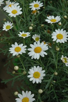 """White Marguerite Daisy. 18""""tx18""""w.  Blooms early summer to early fall. The flowers are excellent for cutting. It's tiny deeply cut ferny leaves remain grayish green throughout the season."""