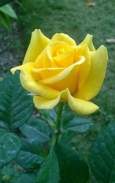 1002 best yellow roses images on pinterest beautiful flowers for many gardeners and recipients of a bouquets yellow flowers are a sign of spring and will create joy in all of us the color yellow creates joy and mightylinksfo