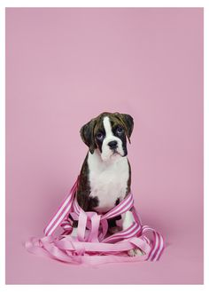 Pink Ribbon Puppies - Boxer [photography by thank Dog photography]