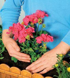 Kvalitná zemina a pravidelné prihnojovanie sa postarajú o krásne kvety.